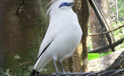Bali's endangered starling and the fight against wildlife trafficking