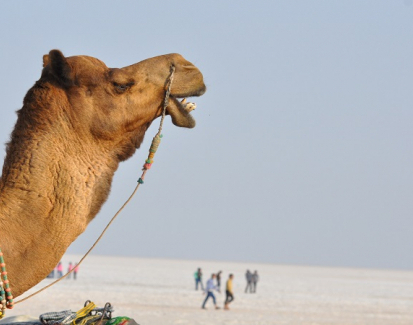 India's camel population rapidly dwindling
