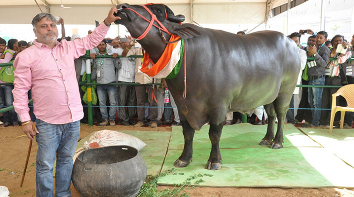 The prize winning bull Yuvraj with his owner (Photo: Jasvinder Sehgal)