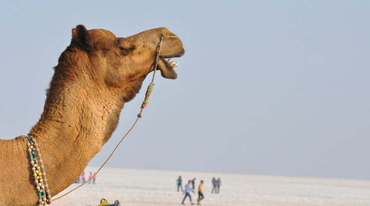 Rajasthan's camels are dwindling in numbers (Photo: Jasvinder Sehgal)