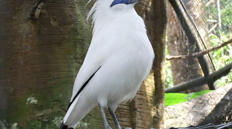 The Bali Starling is critically endangered, due to illegal capture and trade of the birds for caged